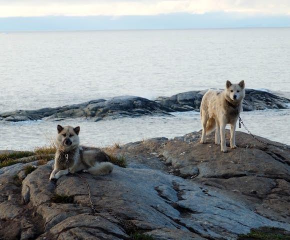Greenlandic-sled-dogs